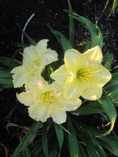 Brocaded Gown Reblooming Daylily