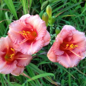 Cosmopolitan Pink Reblooming Daylily