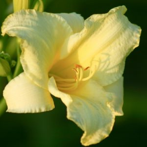 Daquiri Reblooming Daylily