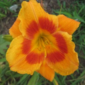 Eye-Yi-Yi Reblooming Daylily