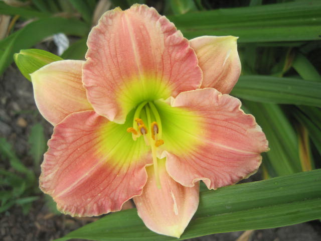 Final Touch Reblooming Daylily