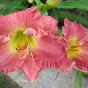 Hush Little Baby Reblooming Daylily