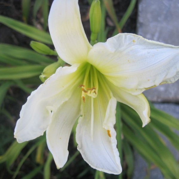 Ice Carnival Reblooming Daylily