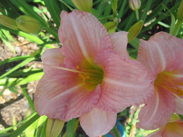 Little Heavenly Angel Reblooming Daylily