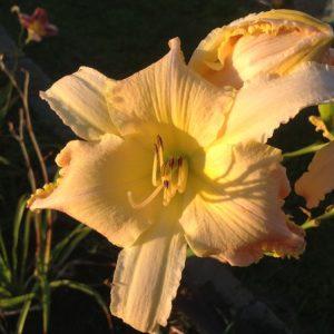 Lotus Position Reblooming Daylily
