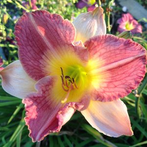Old King Cole Reblooming Daylily