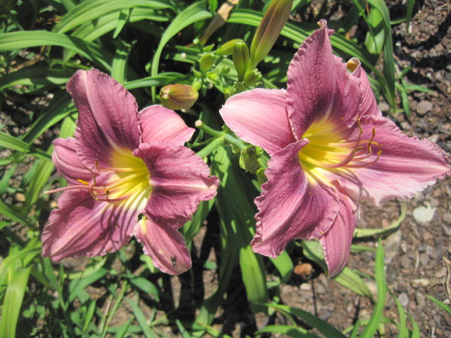 Prairie Blue Eyes Reblooming Daylily