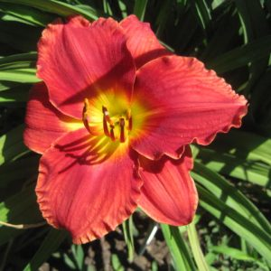 Preppy Pink Reblooming Daylily