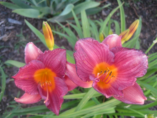 Purple Stella Reblooming Daylily