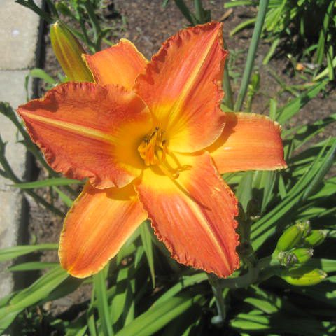 Rocket City Reblooming Daylily