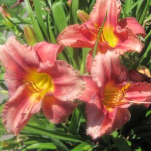 Rosy Returns Reblooming Daylily