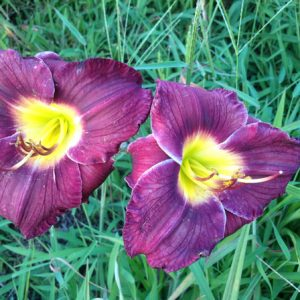 Royal Occasion Reblooming Daylily