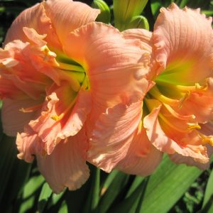 Siloam Double Classic Reblooming Daylily