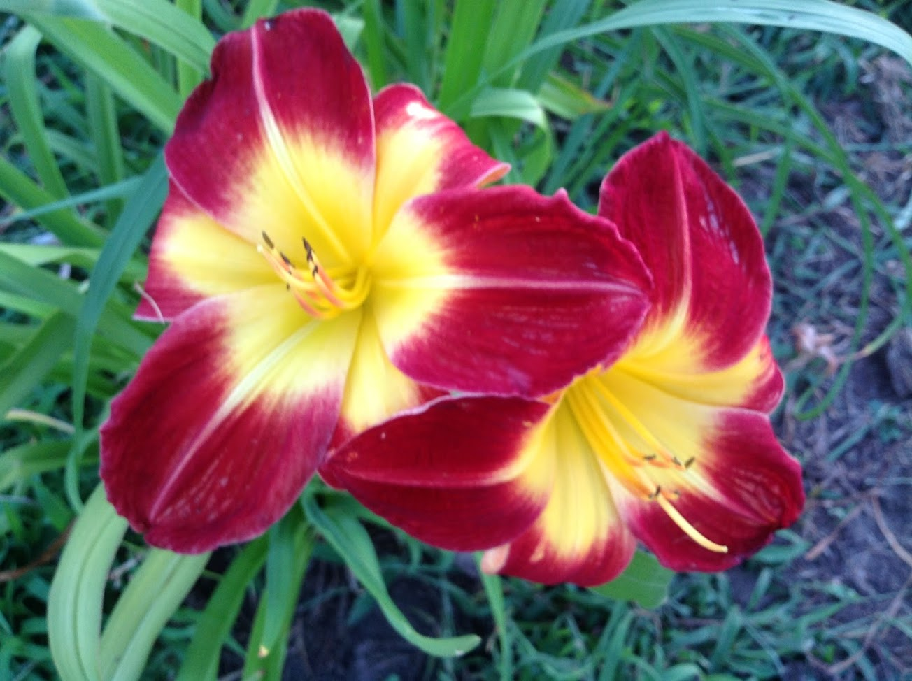 Tropical Love Reblooming Daylily