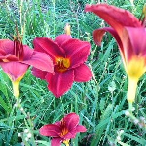 Frankly Scarlett Reblooming Daylily