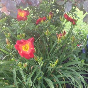 Magic Carpet Reblooming Daylily