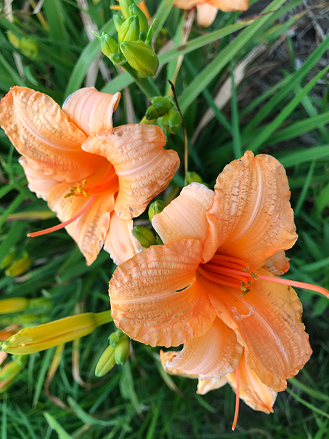 Apricot Sparkles Reblooming Daylily