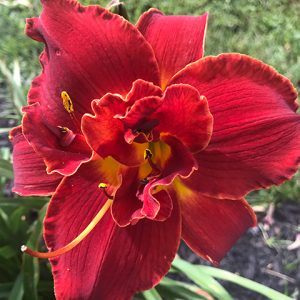 Highland Lord Reblooming Daylily
