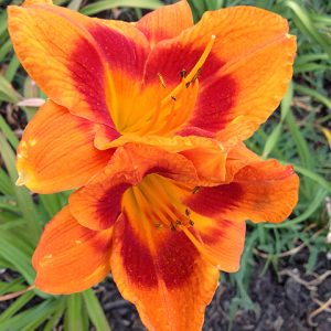 Leebea Orange Crush Reblooming Daylily