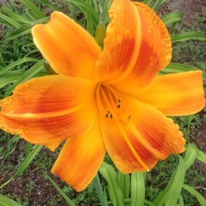Orange Aglow Reblooming Daylily